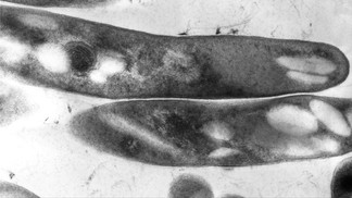 Les morts-vivants existent, du moins chez les bactéries…