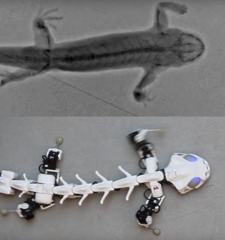 Un robot qui imite les mouvements de vertébrés