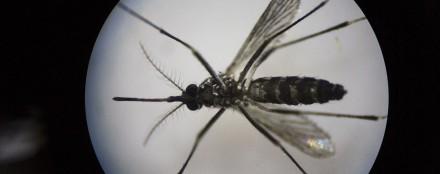 Deux vaccins efficaces contre Zika sur des souris suscitent l'optimisme