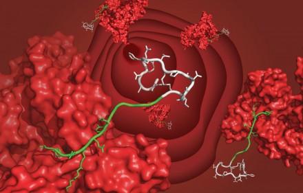 Un nouveau ligand qui permet à des médicaments d'agir plus longtemps